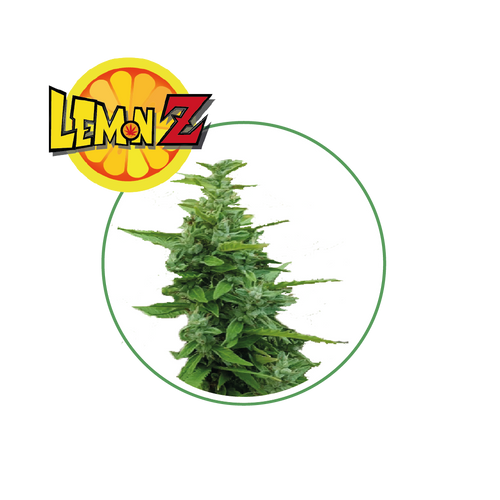 Lemon Z ( CBD )