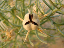 Load image into Gallery viewer, Harmal Seeds - Peganum Harmala / Syrian Rue / Esfand / Spilani - 50g