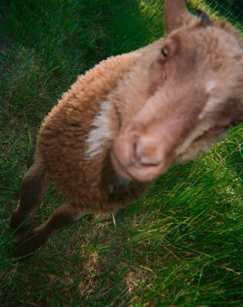 Up close photo of a lamb in grass.