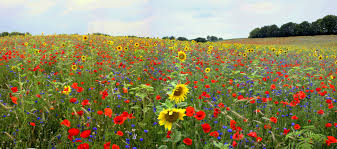 Field with red, yellow, purple flowers