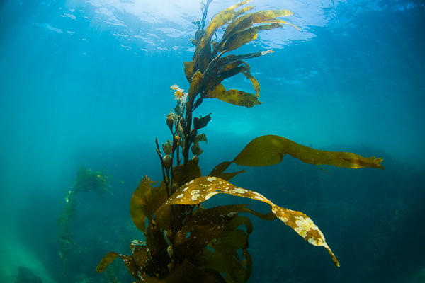 Kelp Flow - John Manzoni Photo