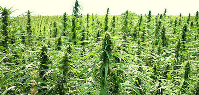 Industrial Hemp Pesticide Trial