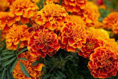 Hedge Natural Defense effects on Marigolds