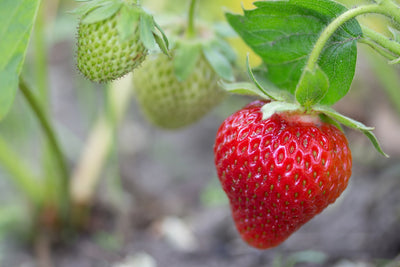 Hedge Natural Defense Effects on Organic Strawberry Plants