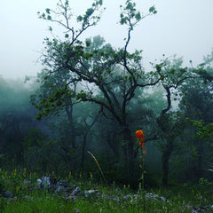 One single orange flower in grass on a foggy day in the woods at Fremont Peak