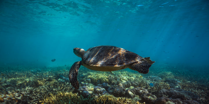 The Green Sea Turtle of The Great Barrier Reef