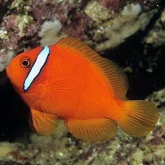 pez payaso Amphiprion Frenatus