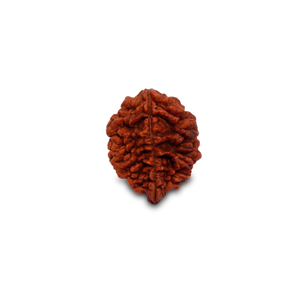 Dwimukhi Rudraksha Bead For Couples (Two Faced) - Isha Life AU