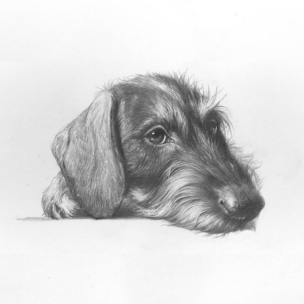 """Wirehaired Dachshund. Portrait"""