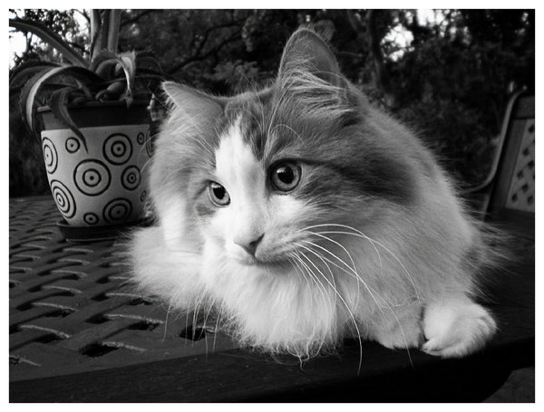 31 Grayscale Cat Images with PLR