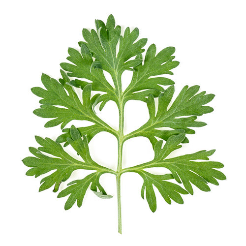 korean wormwood leaf