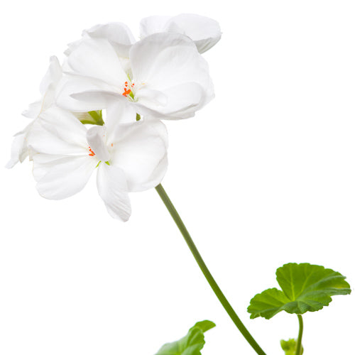 pelargonium graveolens stem leaf oil