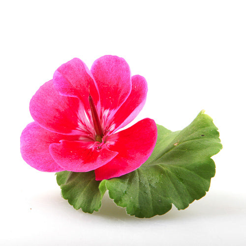 pelargonium roseum leaf oil