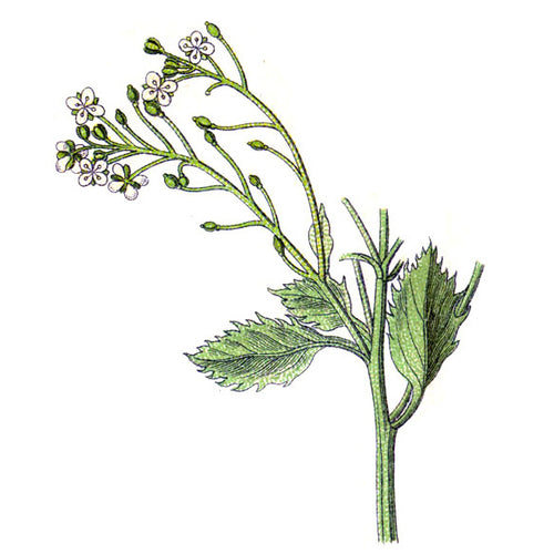 crambe abyssinica oil