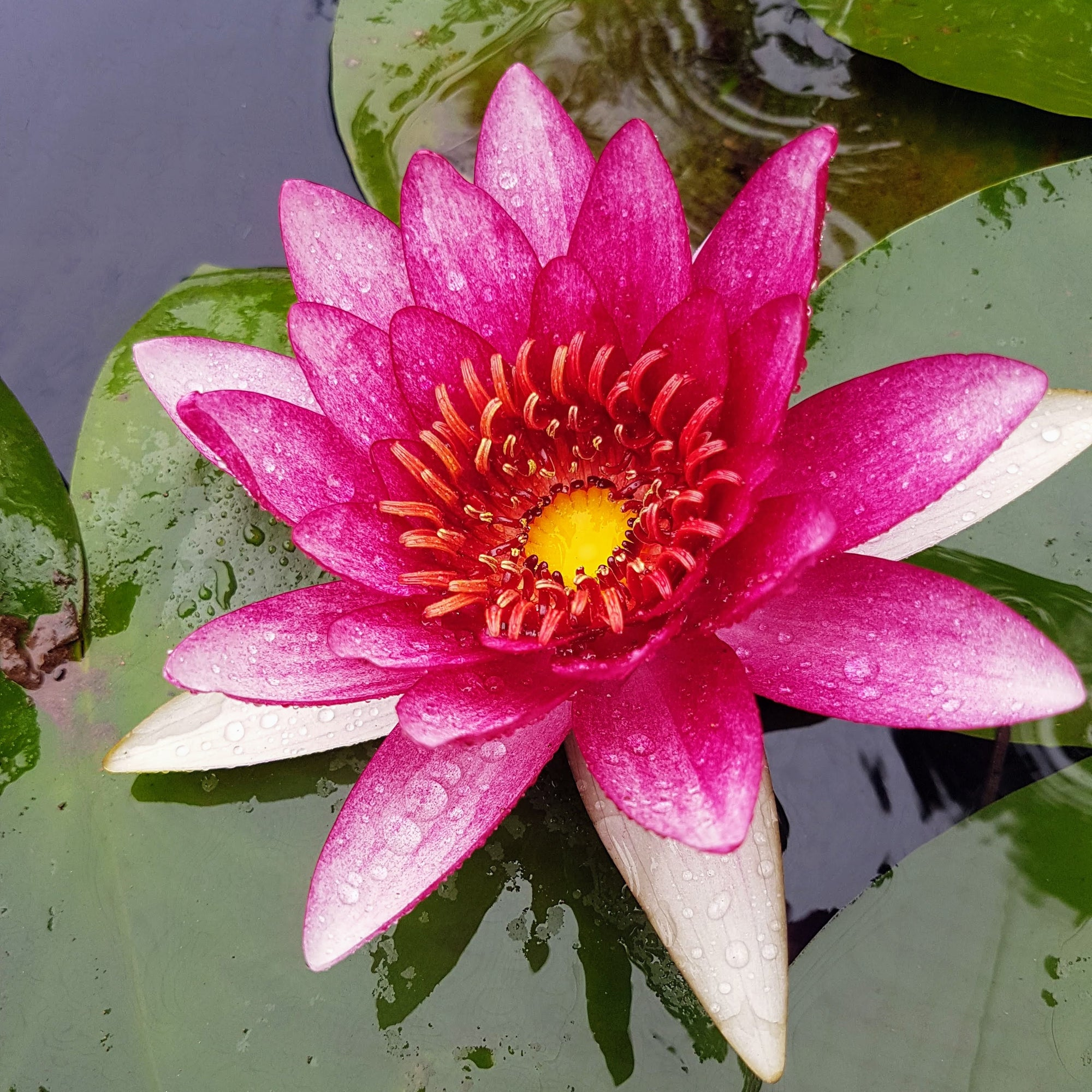 Time to Repot Hardy Water Lilies