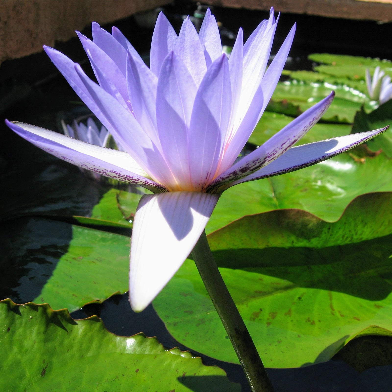 Water Lilies Perth Sydney Melbourne Brisbane Adelaide The