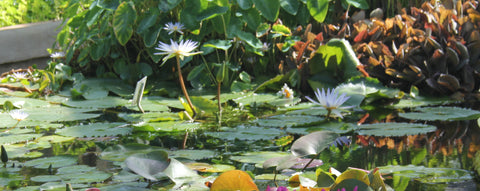 How to Grow & Care for Your Water Lilies - Tips for Success - The