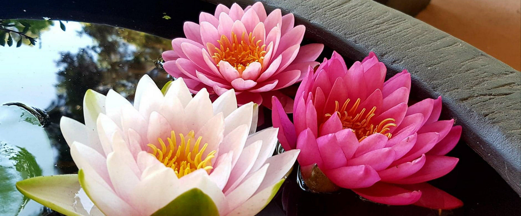 Water Lily (Lilies) In A Bowl