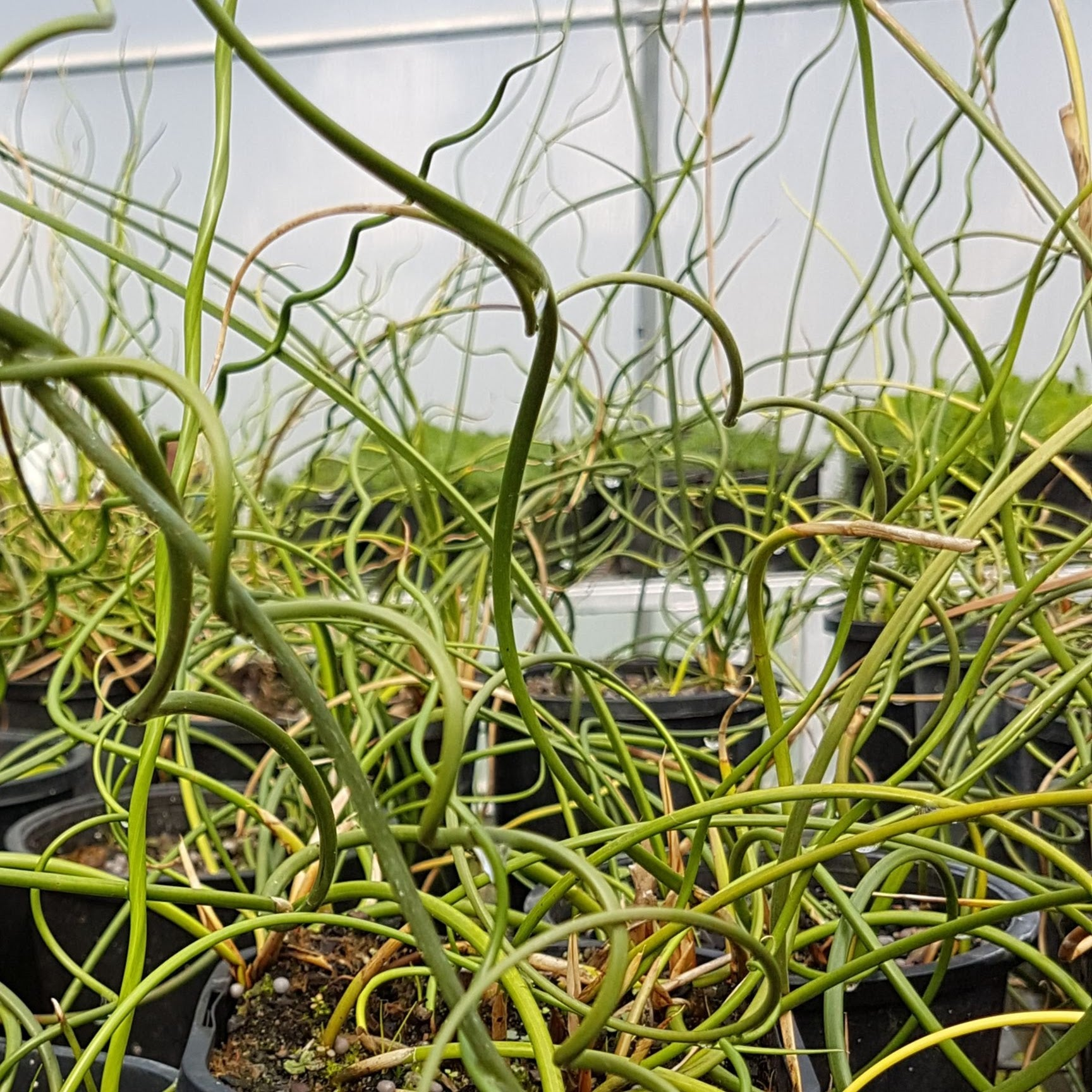 Curly Juncus Rush