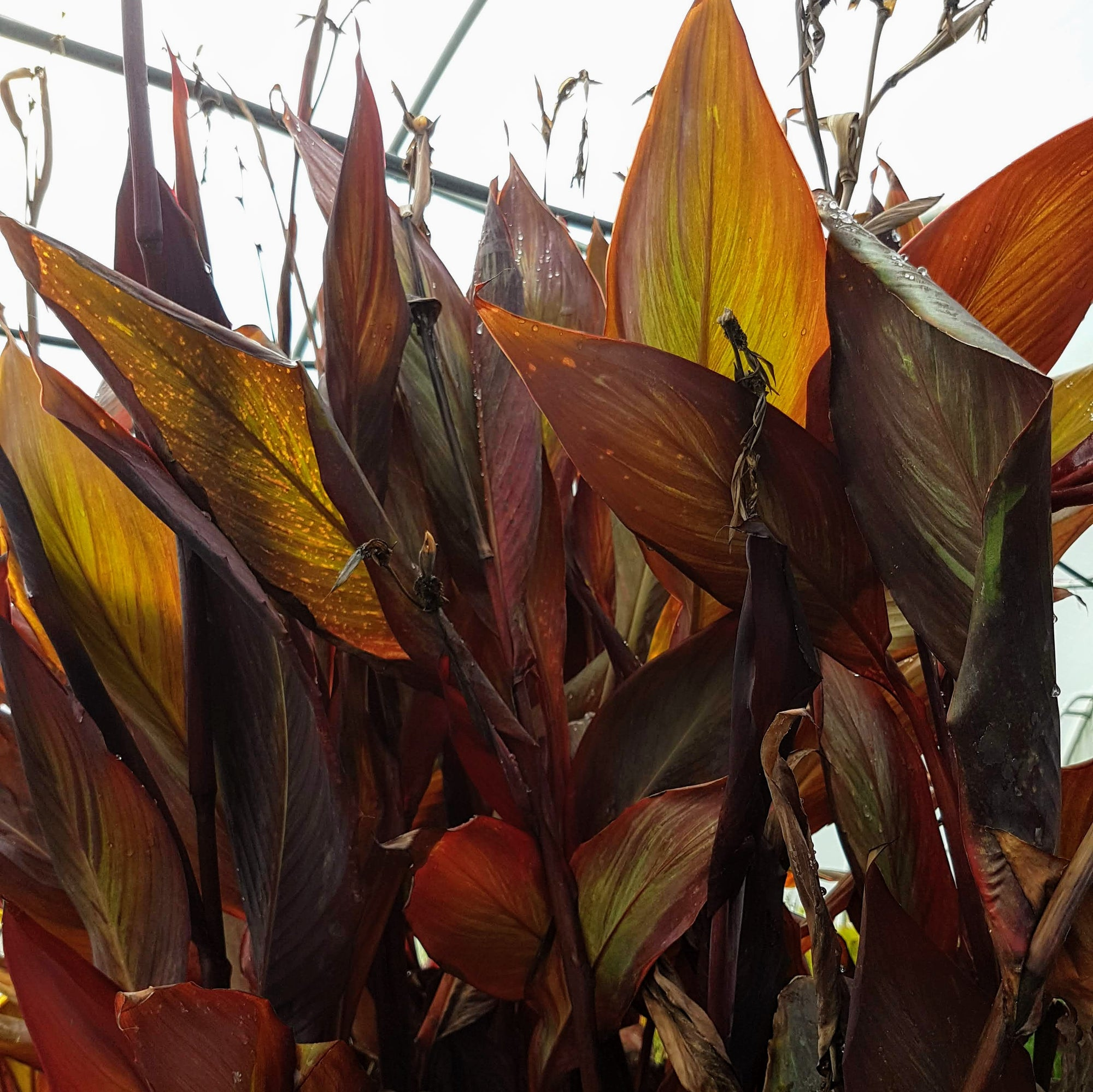 Water Canna Red