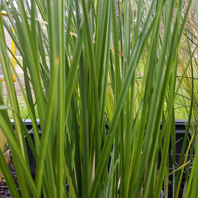 Native Water Plant 5 Pack