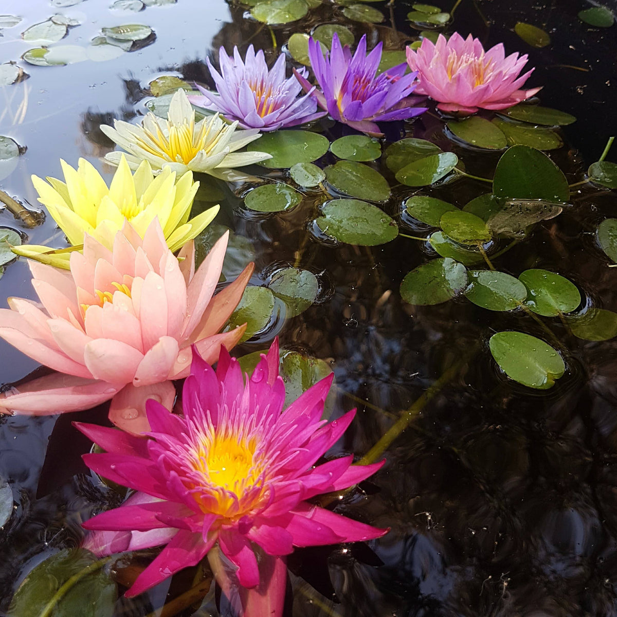 Mixed Hardy & Tropical Water Lily - 5 Pack