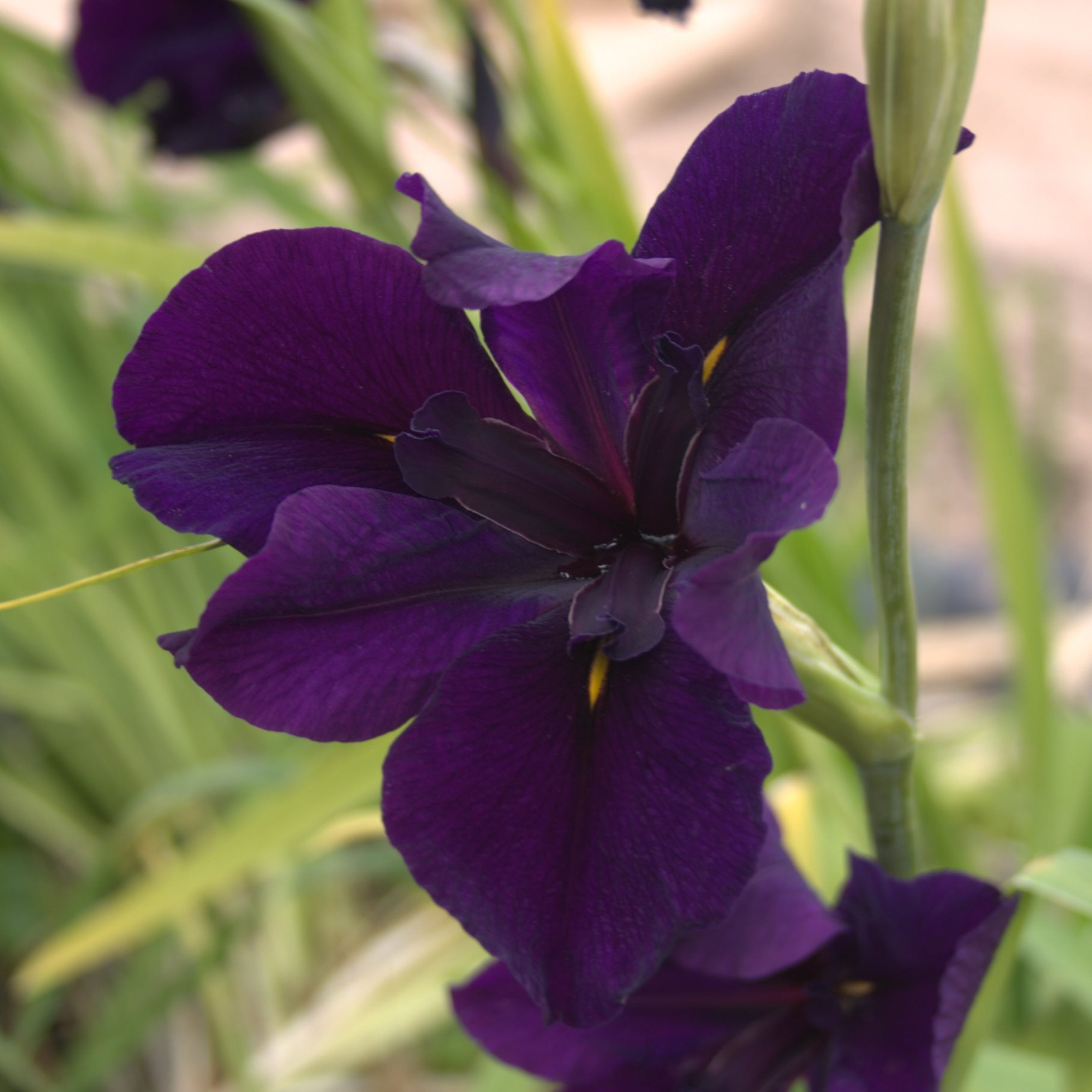 Louisiana Iris - Dark Purple
