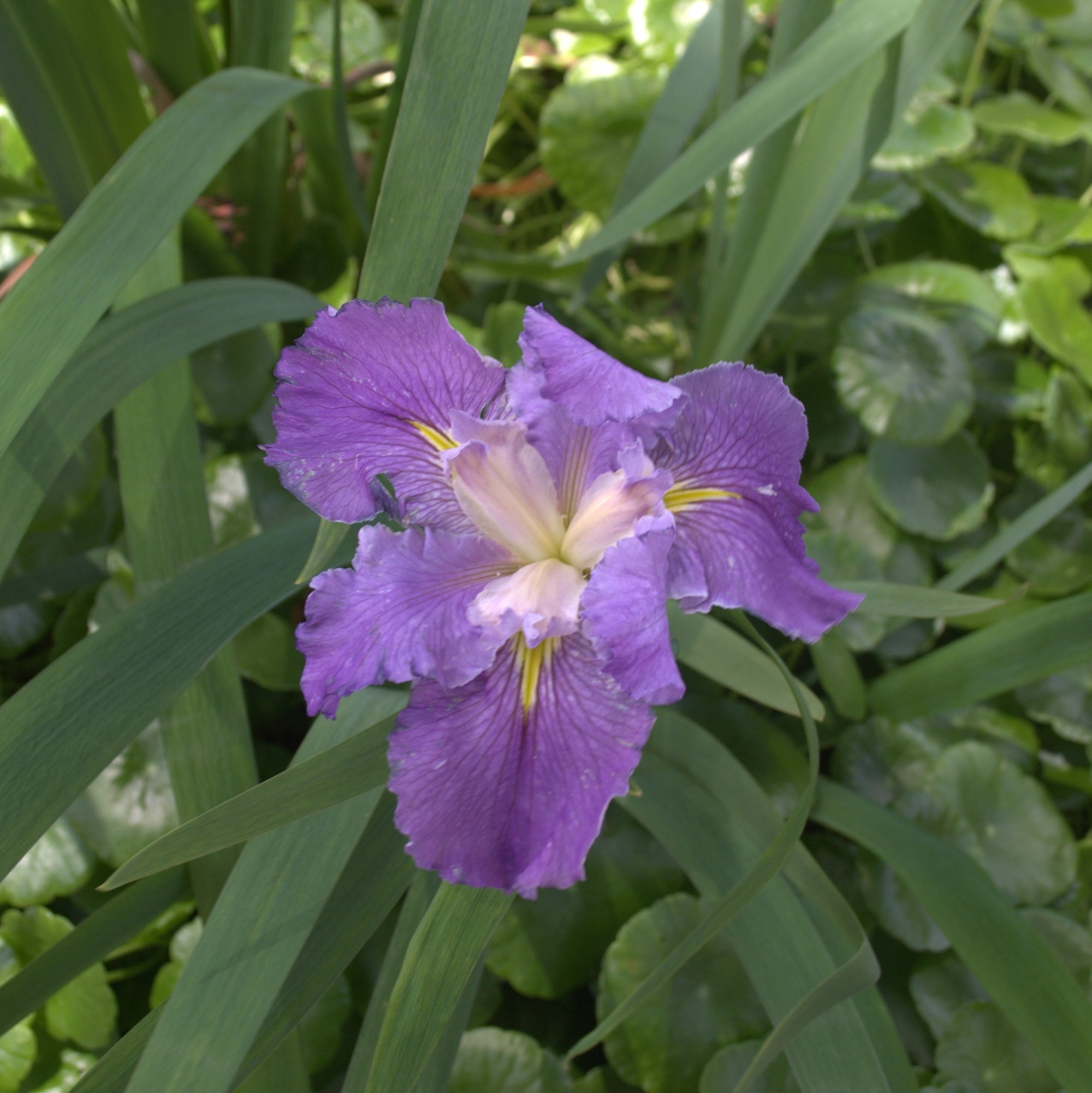 Louisiana Iris - Purple