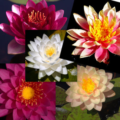 Premium Hardy Water Lily - 5 Pack