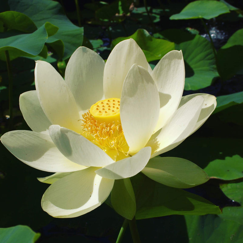 Sacred Lotus White