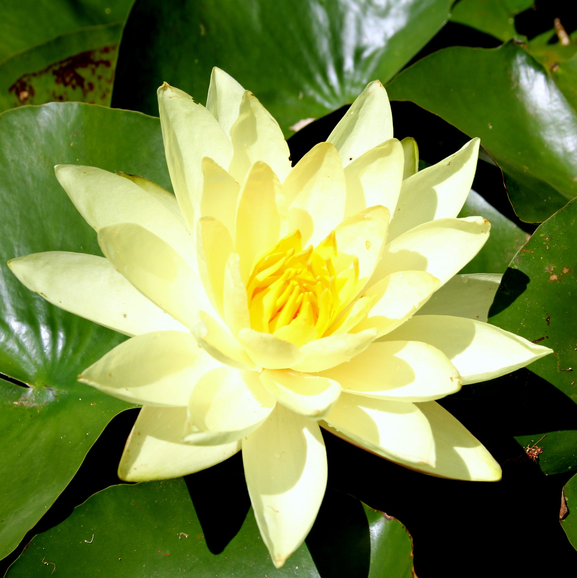 Repot Water Lily