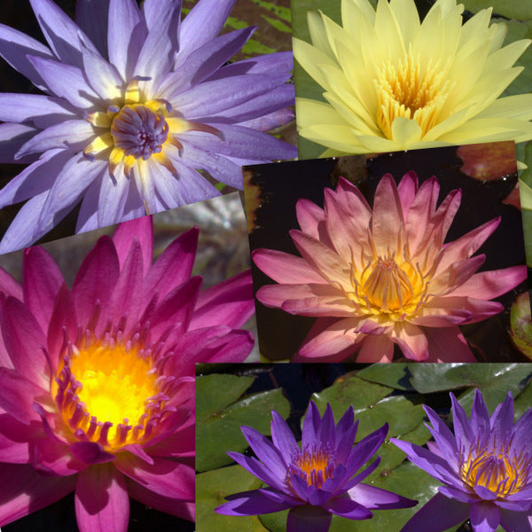 Premium Tropical Water Lily - 5 Pack