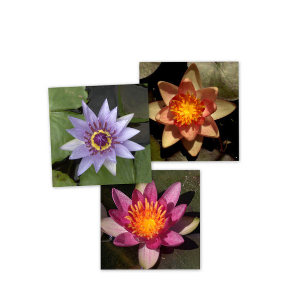 Small Grower Mixed Water Lily - 5 Pack