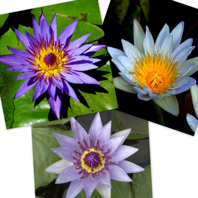 Blue Tropical Water Lily - 3 Pack