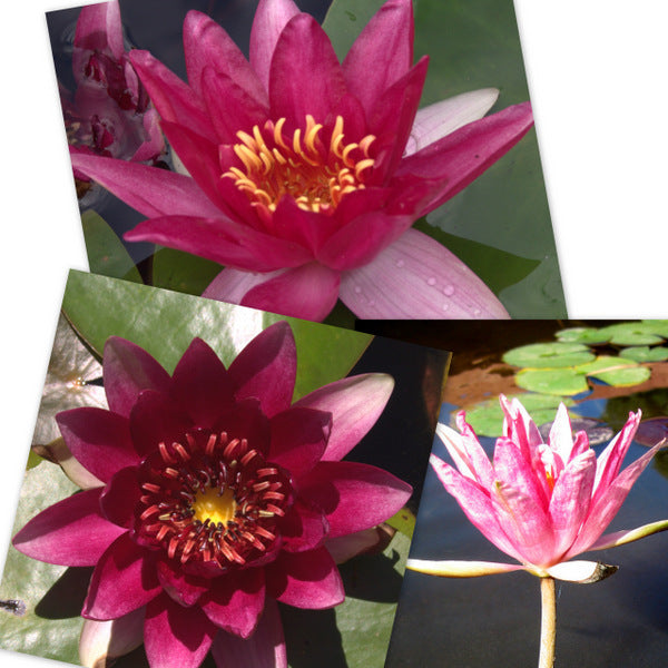 Red Hardy Water Lily - 3 Pack
