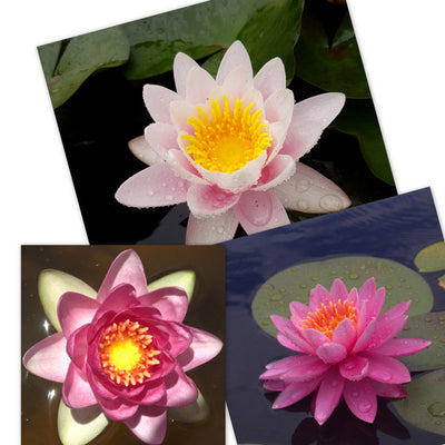 Pink Hardy Water Lily - 3 Pack