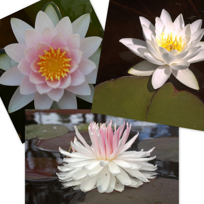 Pastel Hardy Water Lily - 3 Pack