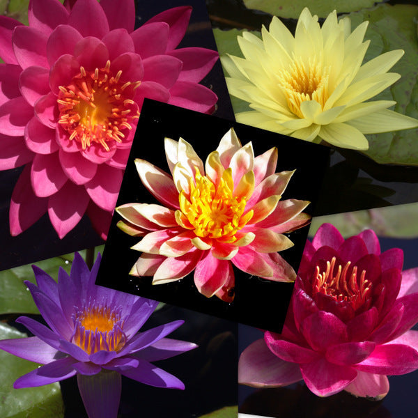 Premium Hardy & Tropical Water Lily - 5 Pack