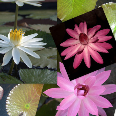 Night Flowering Tropical Water Lily - 3 Pack