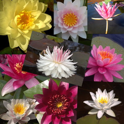 Hardy Water Lily - 20 Pack