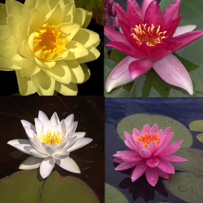Hardy Water Lily - 5 Pack
