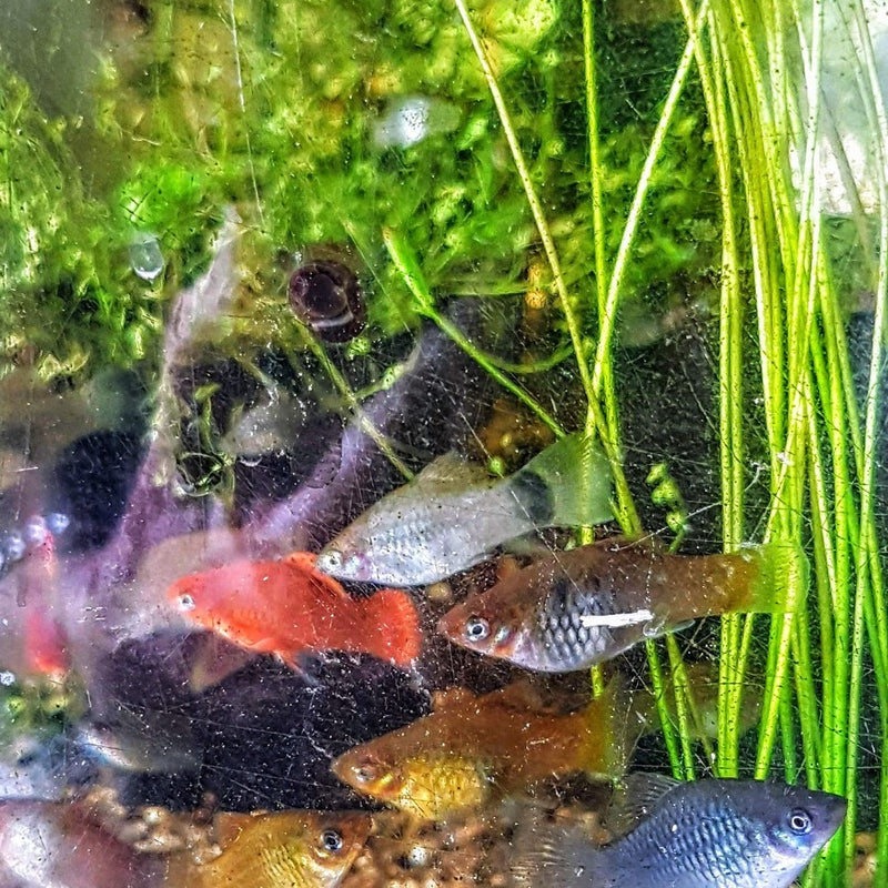 Platy 5 for $15