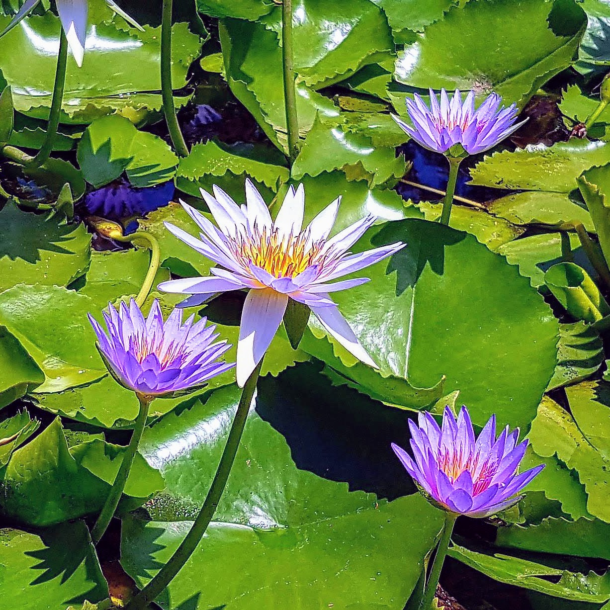 """Blue Lotus"" (Nymphaea stellata)"