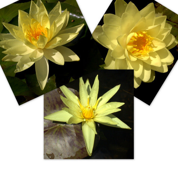 Yellow Mixed Water Lily - 3 Pack
