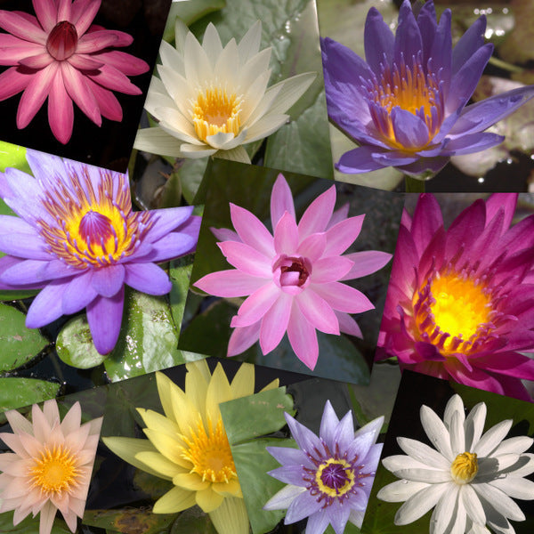 Tropical Water Lily - 10 Pack
