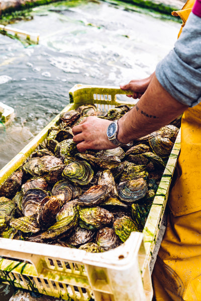 It's the end of the Native Oyster season - what happens next?