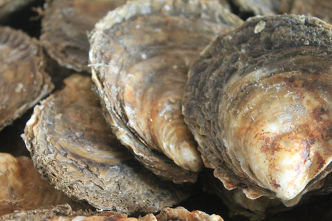 Native Oysters available for Mail Order, Mersea Island