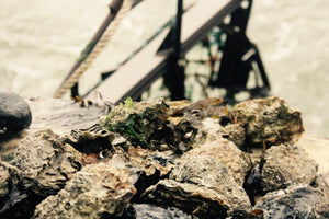 Small Rock Oyster - Richard Haward's Oysters