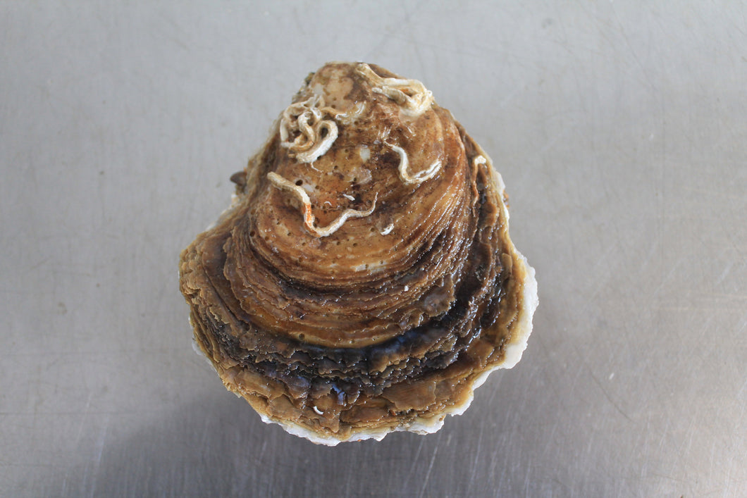 Large Native oyster from Mersea Island in Essex, sold online by Richard Haward's Oysters. Also known as Colchester Native Oyster.