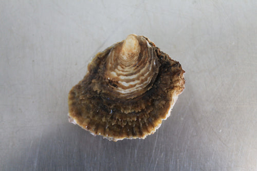 Medium Native Oyster (No. 2/3)